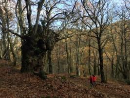 Extraordinarios ejemplares de castaños en bosques de ensueño