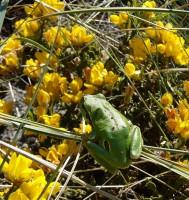 La rana de San Antón todavía habita en los humedales de Sanabria