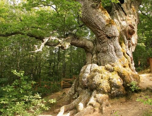 Homologada la Senda del Roblón de Estalaya, un paseo junto al 'Abuelo'