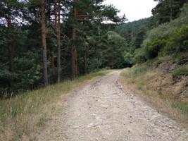 Pinar en el Camino de San Mamés